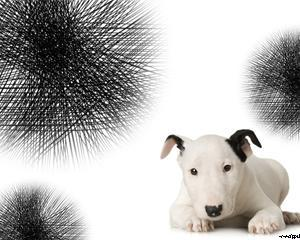 Cachorro Bull Terrier Powerpoint PPT Template