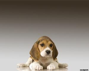 Beagle Powerpoint Template
